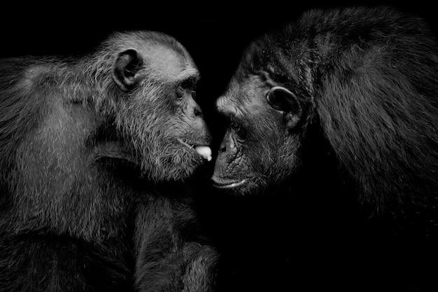 Gorilla di pianura occidentale Foto Premium