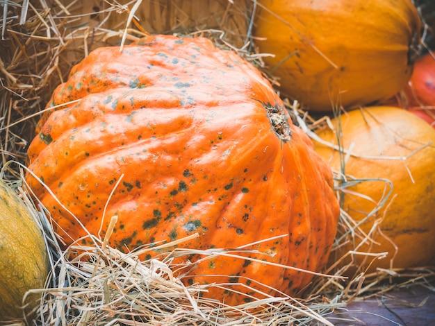 Grande bugia della zucca arancione nella paglia. raccolta autunnale di zucche preparate per la festa. Foto Premium