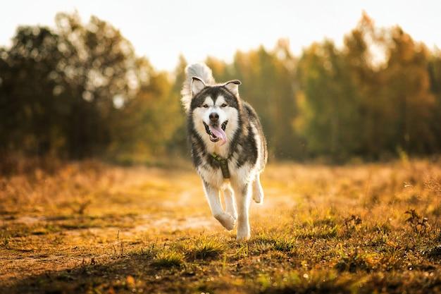 Grande cane bianco di razza marrone maestoso dell'alaska alaska malamute che cammina sul campo vuoto nel parco di estate Foto Premium