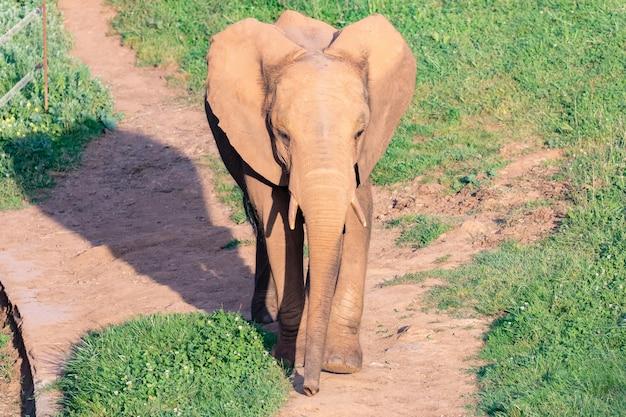 Grande elefante maschio su un prato Foto Premium