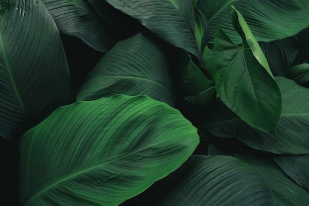 Grande fogliame della foglia tropicale con struttura verde scuro, fondo astratto della natura. Foto Premium