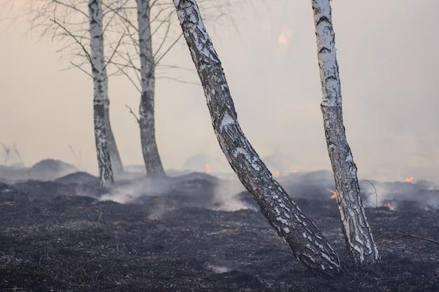 Grande foresta di betulle piene di fumo e alberi carbonizzati e anneriti dopo un incendio selvaggio Foto Premium