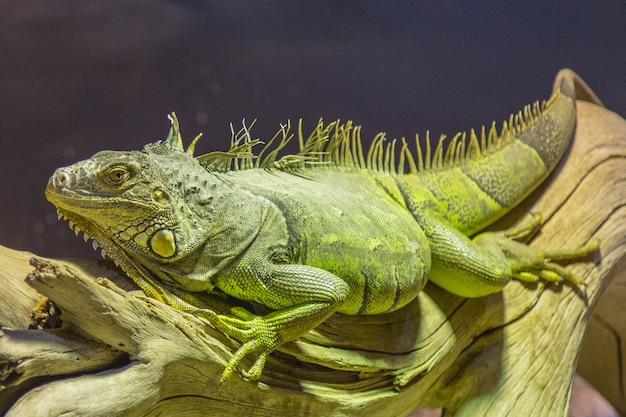 Grande iguana verde che si trova su un pezzo di legno Foto Gratuite