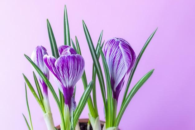 Grandi crocus crocus sativus c. vernus fiori con striature viola su uno sfondo rosa per cartoline, auguri per la festa della mamma, san valentino Foto Premium