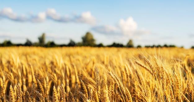 Grano di frumento orecchie di campo vicino. sfondo. Foto Premium