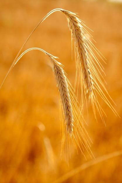 Grano dorato due spighe di cereali maturi Foto Premium