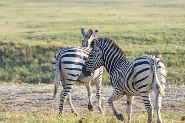 Gregge delle zebre al parco nazionale di etosha, destinazione di viaggio in namibia. polvere, luce soffusa. Foto Premium