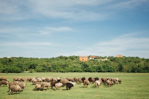 Gregge lungo di pecore che mangiano erba sul pascolo Foto Gratuite