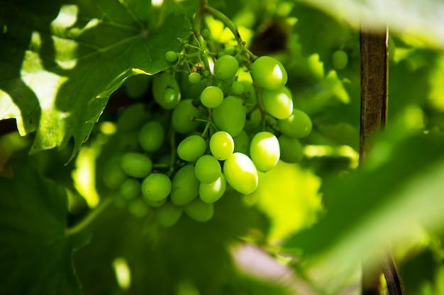Grono di uva verde nel vigneto. Foto Premium