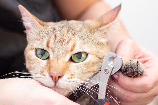 Groomer taglia gli artigli dei gatti. salone per animali. bellissimo gatto in un salone di bellezza. toelettatura degli animali Foto Premium