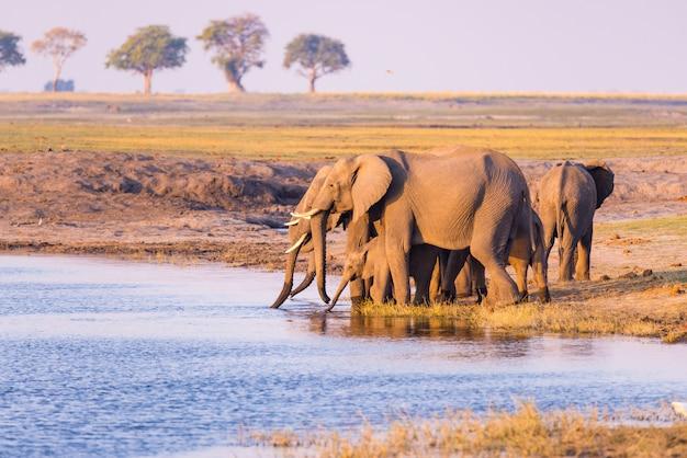 Gruppo di acqua potabile degli elefanti africani dal fiume chobe al tramonto. parco nazionale di chobe, confine con la namibia botswana, africa. Foto Premium