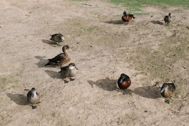 Gruppo di anatre che cammina Foto Gratuite