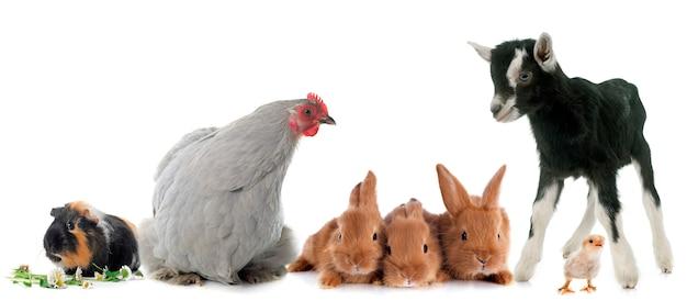 Gruppo di animali da fattoria Foto Premium