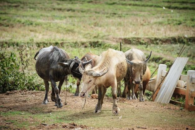 Gruppo di bufali d'acqua con il fango che cammina alla stalla o alla penna del bestiame in azienda agricola del paese Foto Premium