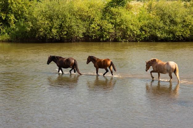 Gruppo di cavalli che attraversano il fiume Foto Premium