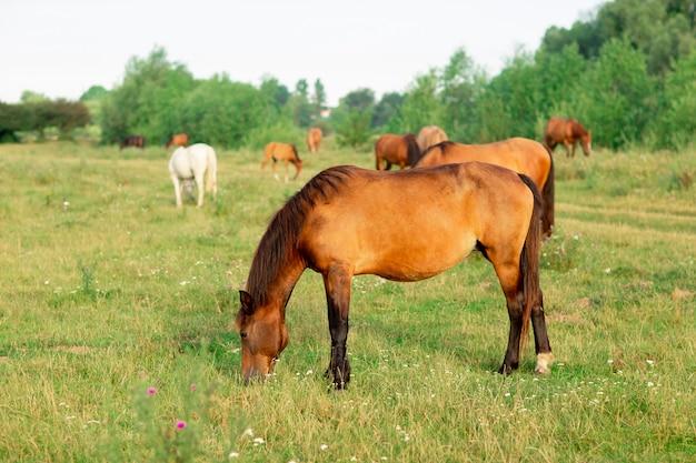 Gruppo di cavalli in un pascolo estivo Foto Premium