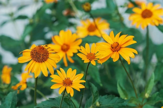 Gruppo di fiori gialli succosi colorati con centro arancio e vivaci petali puri piacevoli. topinambur di fioritura nella macro. primo piano di molti helianthus tuberosus. bellissimi fiori di topinambur. Foto Premium