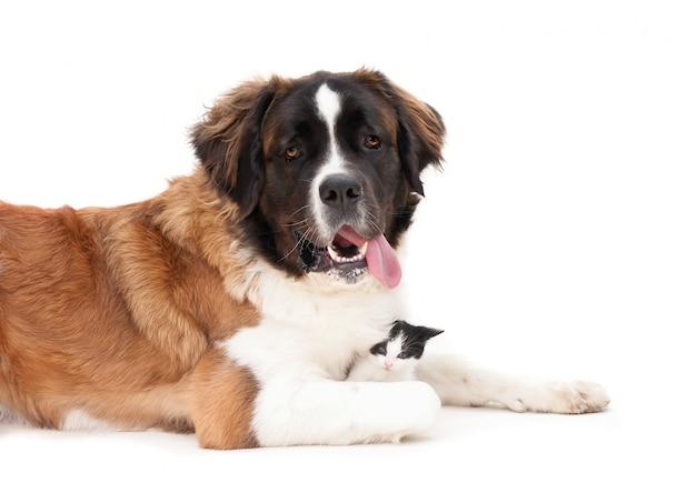 Guardando cane di montagna bernese con un gattino Foto Premium