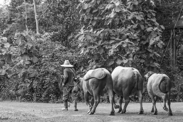 Guinzaglio contadino buffalo foto in bianco e nero Foto Premium