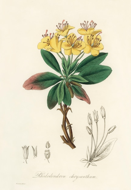 Gum benjamin tree (rhododendron chrysanthum) illustrazione da medical botanica (1836) Foto Gratuite