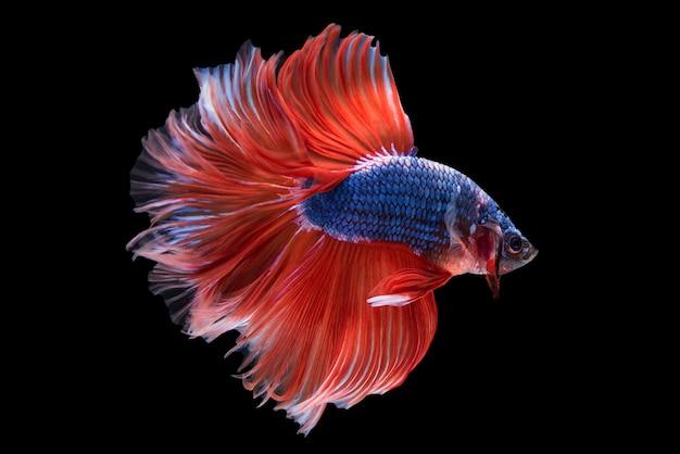 Halfmoon betta fish Foto Gratuite