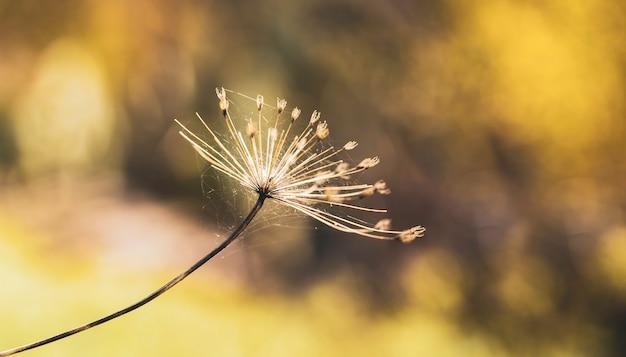 Heracleum mantegazzianum close up con ragnatela Foto Premium