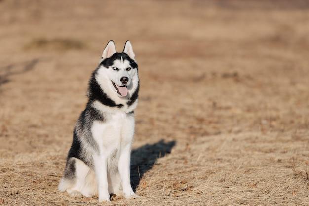 Husky. il cane cammina nella natura. paesaggio autunnale. prato secco giallo. Foto Premium