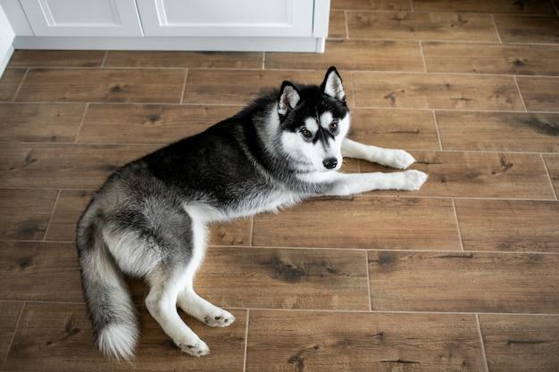 Husky si trova sul pavimento e distoglie lo sguardo. ritratto di splendido cane siberian husky Foto Premium