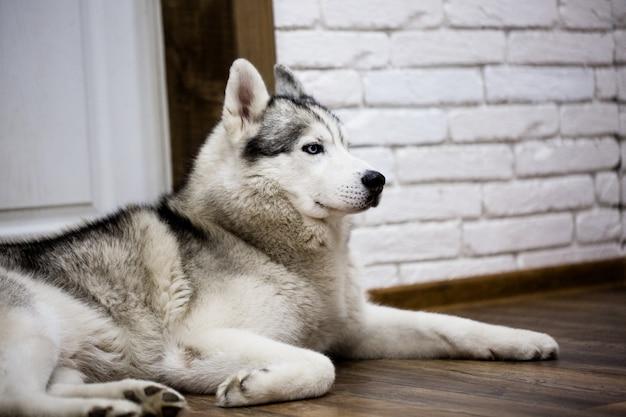 Husky siberiano a casa sdraiato sul pavimento. stile di vita con il cane Foto Premium
