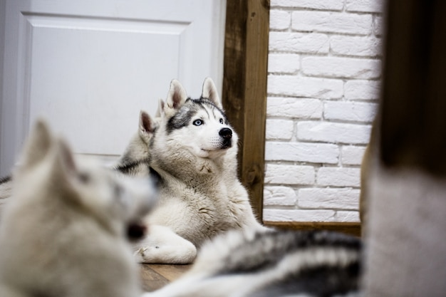 Husky siberiano Foto Premium