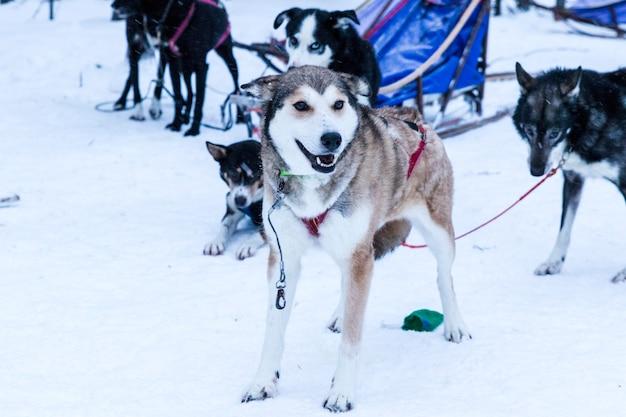 Husky slittino durante una pausa da una spedizione nella neve Foto Premium
