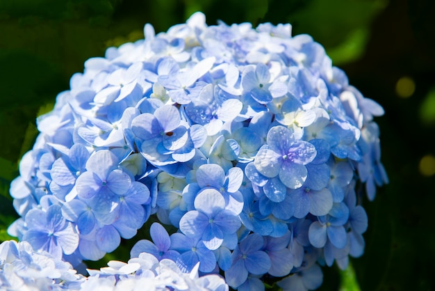 Hydropea blu hydrangea macrophylla o hortensia fiore nel giardino Foto Premium