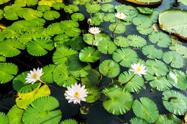 I boccioli di loto giallo e rosa fioriscono magnificamente Foto Premium