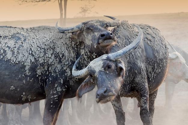 I bufali della coppia si rilassano sul campo Foto Premium