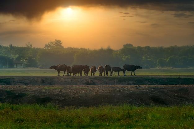 I bufali stavano tornando in forma la sera. Foto Premium