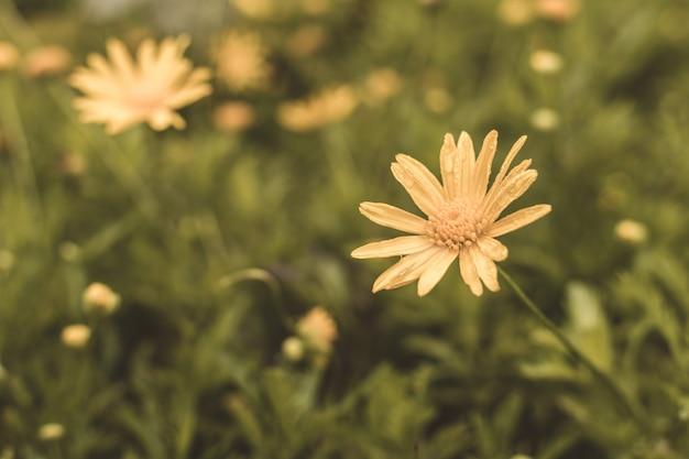 I denti di leone fioriscono sull'erba in un giorno di molla soleggiato Foto Premium