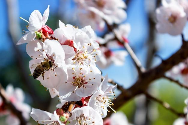I fiori del mandorlo si chiudono su Foto Premium