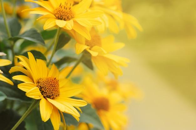 I fiori gialli dell'echinacea hanno offuscato il fondo del bokeh con copyspace Foto Premium