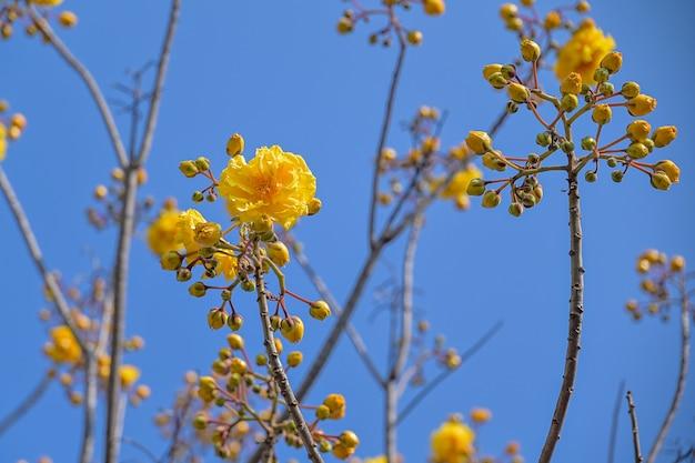 I fiori gialli di cochlospermum religiosum fioriscono il mazzo sull'albero, tazza del burro Foto Premium