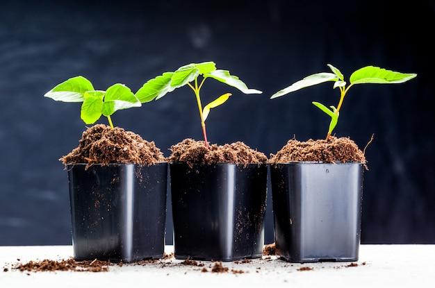 I germogli verdi sono germogliati nel terreno Foto Premium