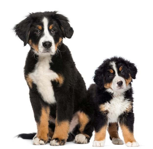 I giovani cani e cuccioli di montagna bernesi dopo Foto Premium