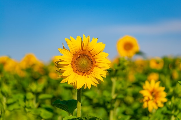 I girasoli crescono nel campo in estate su cielo blu. avvicinamento Foto Premium