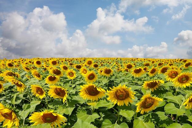 I girasoli sono in fiore e la luce del sole in una giornata limpida. Foto Premium