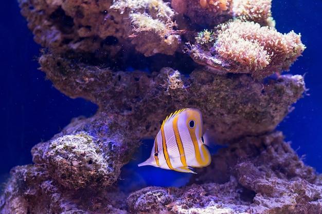 I pesci tropicali nuotano vicino alla barriera corallina. messa a fuoco selettiva Foto Premium