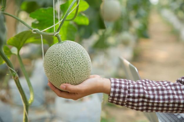 I ricercatori di piante stanno controllando gli effetti del melone. Foto Gratuite
