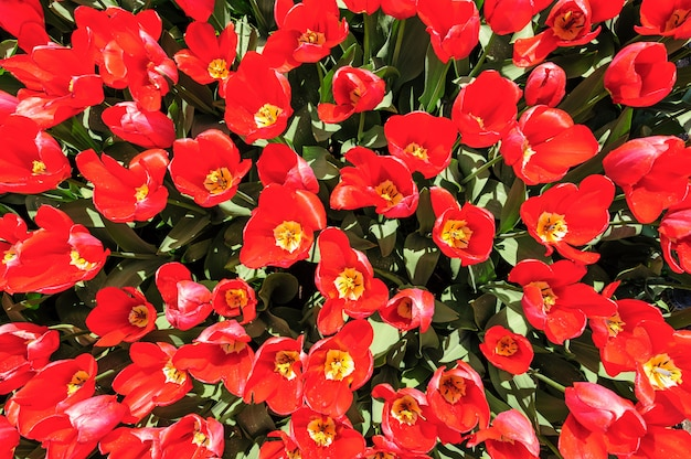 I tulipani rossi luminosi hanno sparato da sopra, i giardini di keukenhof a lisse, paesi bassi Foto Premium