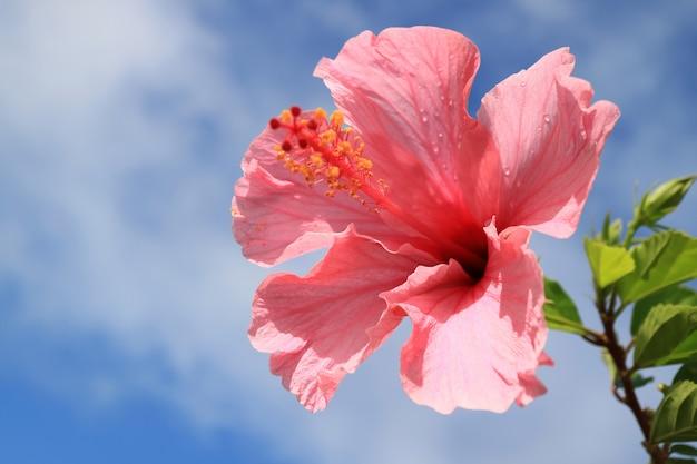 Ibisco rosa alto chiuso con le gocce di pioggia contro il cielo nuvoloso blu, isola di pasqua, cile Foto Premium