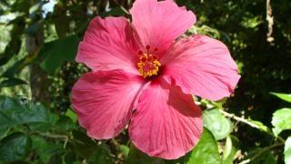 Ibisco rosso ibisco scaricare foto gratis for Ibisco rosso