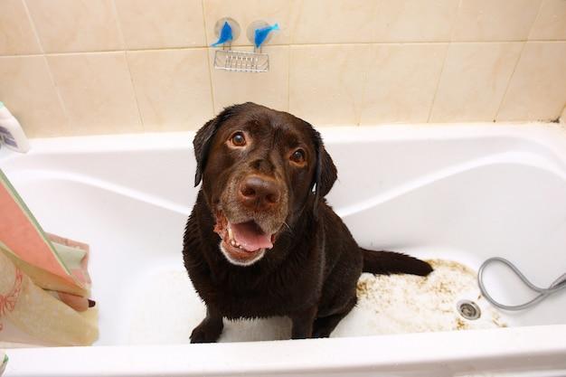 Il bagno del cane di razza labrador marrone scuro divertente. Foto Premium