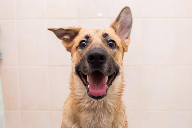 Il bagno del cane di razza mista divertente. cane facendo un bagno di bolle. cane da toelettatura. Foto Premium